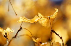 Light Dancers (Alvin Harp) Tags: nature leaves oregon golden january beautifullight 2016 naturesbeauty unning leafart macroblur macrounlimited teamsony sonyilce7rm2 fe2890macrogoss alvinharp