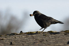 Kabbelei - 2016-003_Web (berni.radke) Tags: row fighting raven rabe squabble quarrel bicker wrangle kabbelei