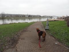 2016-0102 (schuttermajoor) Tags: nederland hond che maas eijsden 2016 airedaleterrier ommetjenederland