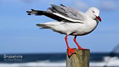 _DSC5502 (dawnbordin) Tags: sea hot bird beach birds head seagull gulls flight chips hungry lennox