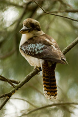 Kookaburra sits in the old gum tree (cupitt1) Tags: bird bush australia gumtree kookaburra kookie