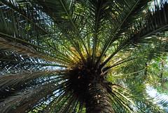 Phoenix canariensis, Canary island date palm (annamaart) Tags: trees palms palmer jungle tenerife teneriffa canaryislands puertodelacruz kanariearna djungel