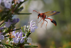 Red Potter Wasp (Delta dimidiatipenne), Playa Blance, Lanzarote (Frank.Vassen) Tags: lanzarote delta hymenoptera potterwasp lehmwespe gx7 deltadimidiatipenne