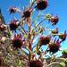 starr-051013-8142-Argyroxiphium_sandwicense_subsp_macrocephalum-flowers-West_Rim_HNP-Maui