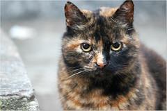 Cat's sight (Simply Viola) Tags: pet animal cat feline felino cateyes gatto animale occhidigatto sguardofelino catssight