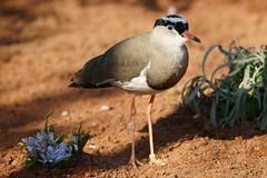 Kronenkiebitz (most.4711) Tags: 510fav zoo topv333 bokeh vogel klnerzoo 333v3f sonya99 tamronsp150600diusd