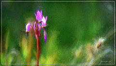 Shooting Star - Paint (jerrywb2010) Tags: wildflower blackdiamondmines eastbayregionalparkdistrict ebparksok contracostacounty sfbayarea flora flower digitalrendering