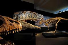 Carcharodontosaurus (PLADIR) Tags: berlin museum dino dinosaur sony bones ausstellung zhne dinos dinosaurier dinosaurio dinosaure skelett knochen carcharodontosaurus naturkundemuseum sonya57 slta57