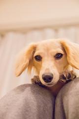 IMG_3353 (yukichinoko) Tags: dog dachshund 犬 kinako ダックスフント ダックスフンド きなこ
