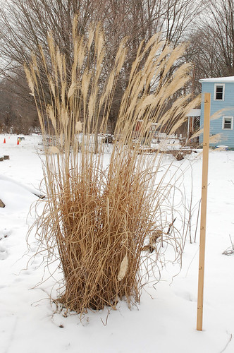 "Pampas Grass, Planted 2011 <a style=""margin-left:10px; font-size:0.8em;"" href=""http://www.flickr.com/photos/91915217@N00/25025698301/"" target=""_blank"">@flickr</a>"