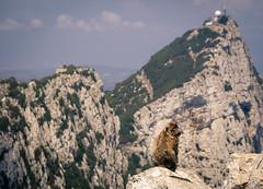 vertrumter Berber (tosch_fotografie) Tags: meer berge berber sonne tier felsen affe gibralter englische kolonie trumen