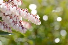 little bells (snowshoe hare*) Tags: flowers flower garden botanical botanicalgarden   dsc0844   pieriskoidzumiana