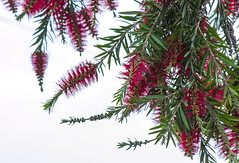 Evergreen and Everred (Manudev Bhardwaj) Tags: flowers trees red white plant flower color tree nice nikon colorful outdoor background foliage whitebackground nikon3100 colourfull nikond3200 nikond nikond3100