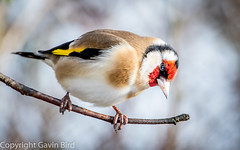 Goldfinch (gbird521) Tags: birds garden goldfinch caithness songbirds scoland