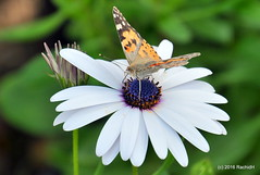 DSC_0123 (rachidH) Tags: flowers vanessa nature cosmopolitan blossoms egypt butterflies insects bee cairo papillon daisy blooms dame africandaisy cynthia paintedlady osteospermum vanessacardui blueeyeddaisy vanessedeschardons labelledame vanesse rachidh