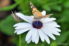 DSC_0123 (rachidH) Tags: flowers vanessa nature cosmopolitan blossoms egypt butterflies insects bee cairo papillon daisy blooms dame africandaisy cynthia paintedlady osteospermum vanessacardui blueeyeddaisy vanessedeschardons labelledame vanesse rachidh