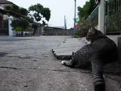 I0000301 (tatsuya.fukata) Tags: animal cat thailand samutprakan