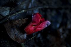 a fallen bud (slowhand7530) Tags: nikon fallen bud camellia carlzeiss makroplanar macroplanar makroplanart250zf makroplanart250 d800e