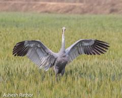 Sarus Crane (asheshr) Tags: bird bigbird crane saruscrane beautifulbird wingsspread birdsofindia