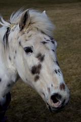 Horse (katezillaa94) Tags: horse white canon eos scotland angus spots