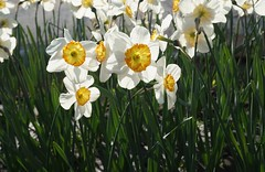 sunny daffodils (Lyubov) Tags: flowers nature day sunny narcissus 2016 fantasticflower
