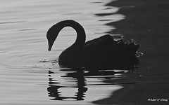 Beauty and Beautiful Shadows (   (Thank you, my friends, Adam!) Tags: macro art beautiful beauty closeup lens photography swan nikon gallery photographer shadows florida wildlife fine central telephoto excellent dslr curve