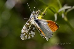 Orange-tip Butterflies. (nondesigner59) Tags: nature closeup lepidoptera breeding archives orangetipbutterfly eos50d nondesigner nd59 copyrightmmee cbnr