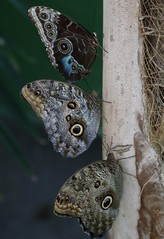 Butterflies - Morpho, Pale Owl and Forest giant owl butterflies (Pix.by.PegiSue -Thxs! 3M+ views! see my albums) Tags: colors gardens canon butterfly insect wings sandiego ngc butterflies insects caterpillars morpho winged fluttering flutter lycaenidae nymphalidae papilionidae hesperiidae pieridae pollinator pollinators riodinidae zoophotography butterflyjungle visitsandiego paleowl sandiegozoosafaripark forestgiantowl hedylidae visitthezoo sdzsafaripark sandiegozooglobal pixbypegisue wwwflickrcomphotospixbypegisue