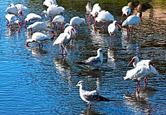 IMG_2834~Birds Of A Feather (Cyberlens 40D) Tags: seagulls nature birds animals fauna swimming canon babies florida cranes fowl ponds reflexions