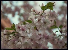 Sakura (2) (***RM***) Tags: flower tree nature beautiful beauty japan garden outside spring nikon dof cherryblossom sakura nikkor fragile d600 2470
