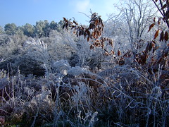 Fougres givres, pins (cristoflenoir) Tags: winter pin hiver dordogne prigord bois frosted givre fougres pinus sylvestris sylvestre genvrier