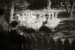 Goose Boy (clauslp) Tags: boy bw white black animal vintage son goose danish magnus chrildren chrild