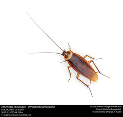 Periplaneta americana - American cockroach (insectsunlocked) Tags: insects roach cockroach extermination pestcontrol blattaria housepest blattodea americancockroach palmettobug periplaneta blattidae pestinsects