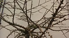 voorjaar, begin van knoppen (JANKUIT) Tags: deventer ijssel voorjaar begin knoppen
