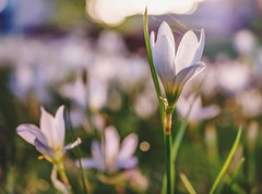 Tenderness...HSS (jenni 101) Tags: flower pretty bokeh softness hss slidersunday nikond7200