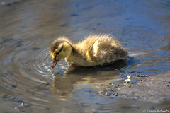 Testing the water [Explored #138] (Eiona R.) Tags: duckling mallard wwtllanelli