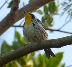 Yellow Throated Warbler. Dendroica dominica