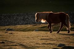 Wild Welsh Pony (PSHiggins) Tags: road horse backlight roman pony backlit welsh conwy rowen romanroad aber rimlight llanfairfechan rimlit abergwyngregyn
