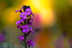 Seek the Light (paulapics2) Tags: pink nature fleur garden golden droplets spring flora purple bokeh blumen canon5d colourful cheerful eveninglight wallflower erysimum