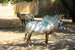 "Oryx ""Maha"" (Ismail Photos) Tags: kuwait ahmadi"