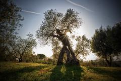 olivo (marcosanti1) Tags: campagna toscana sole olivo terramia campagnatoscana volgoitalia volgotoscana italianbeaty volgopisa