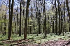 Frhlingswald (julia_HalleFotoFan) Tags: buchenwald thringen wald frhling fagus fagussylvatica rotbuche wartburgkreis bischofroda