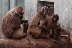 Cheeeeese (joseph_donnelly) Tags: smile cheese zoo monkey stuttgart teeth tierpark monkies wilhelma