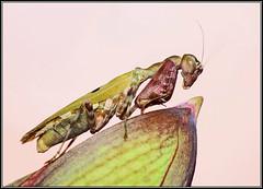 Mantis (GORIGONZALEZ) Tags: macro mantis sony mm 250 dcr 55200 a57 raynox