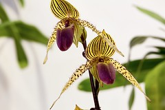 The King of the Paphiopedilum.---Paph.rothschidianum (Eddy Tsai) Tags: show orchid flower color macro garden gold colours bokeh taiwan vivid certificate first medal class international american  society campanula viola  association paphiopedilum  growers   2016                show2016