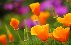 Flowers in the Garden (maria xenou) Tags: orange plants green nature colors closeup garden purple bokeh natur lila greece griechenland garten farben ελλαδα λουλουδια flowercolors φυση χρωματα μωβ πορτοκαλι κηποσ blütenfarben κηποσζουγκλα
