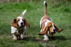 Brace of Bassets (GraemeR1) Tags: dogs movement action basset bassethound