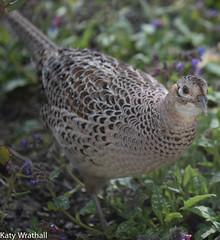Checking through the window (Katy Wrathall) Tags: england birds female march spring pheasant feeders eastyorkshire 2016 eastriding 90366 2016pad