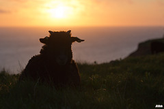 sunset with sheep @ Helgoland, Heligoland in April 2016 (Jan Rillich) Tags: sunset sea sun nature beautiful beauty animal fauna digital canon photography eos photo spring flora foto fotografie sonnenuntergang sheep image jan wildlife picture free sunny insel april northern nordsee sandstein dne frhling schaf helgoland 2016 animalphotography buntsandstein heligoland hochseeinsel janrillich rillich