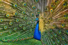 Art of enchantment (Sizun Eye) Tags: blue paris macro gardens gold paw nikon or feather sigma peacock parade bleu d750 28 niebieski mal f28 plumes courting plumage paon bagatelle 105mm sigma105mmf28macro feathering parcdebagatelle zloto piora sizun nuptiale sizuneye